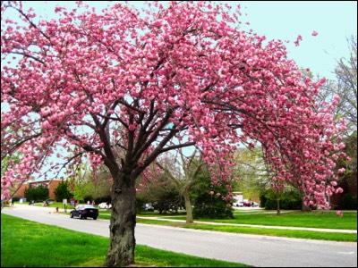 Cherry Japanese Flowering Kwanzan